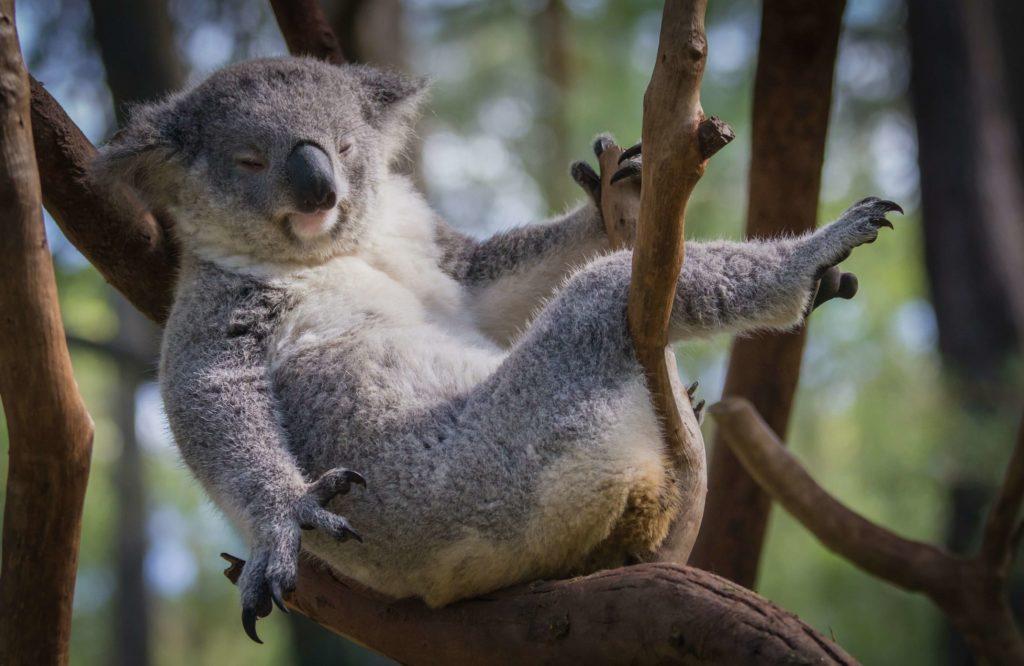1.怠惰なコアラ だるいコアラ